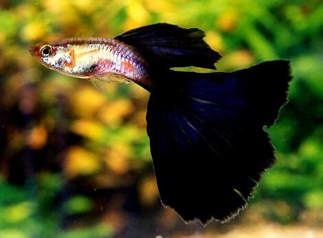 Guppy fish 2
