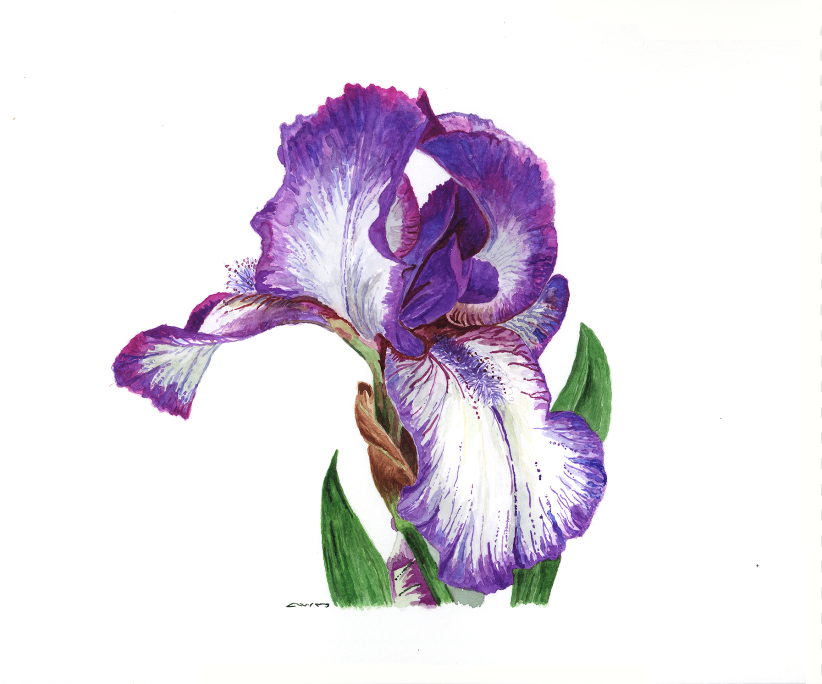 How to draw an iris flower step by step images flower wallpaper hd dianne jansing art purple iris i love when an artist shows the steps a painting goes izmirmasajfo