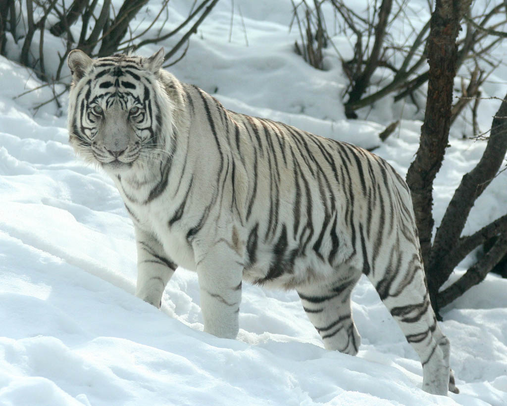 tiger wallpapers best white tiger wallpapers