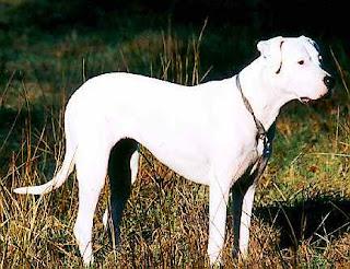 Argentine Mastiff