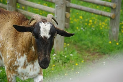 Asturias, cabra al borde del sendero