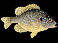 Pumpkinseed Fish Pictures