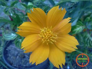 Foto Kembang Kemitir Kuning