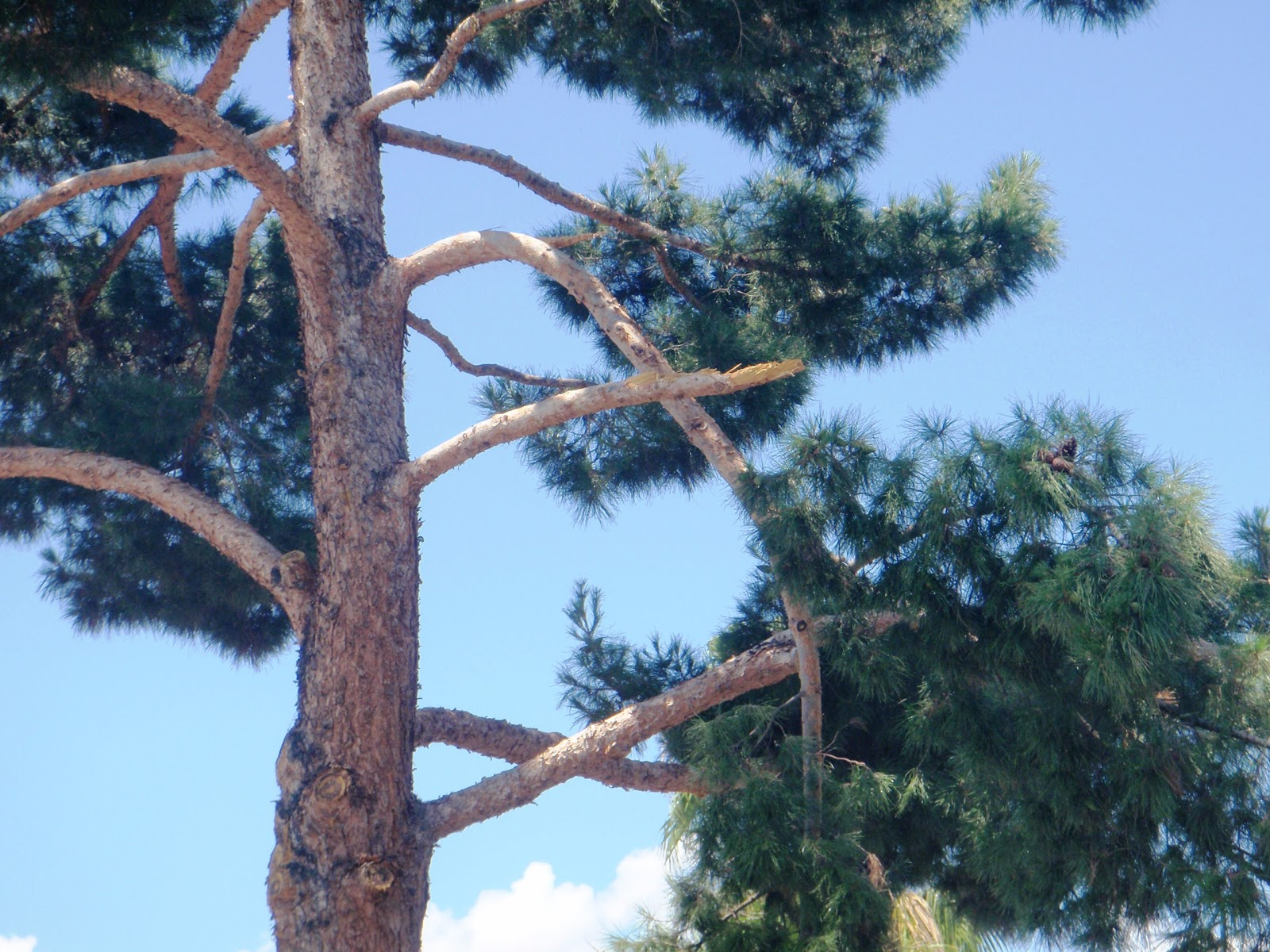 Pine tree thinning to reduce blowover from high winds and the subsequent  loss of branch taper or caliper. This practice can lead to branch breakage  which it ...
