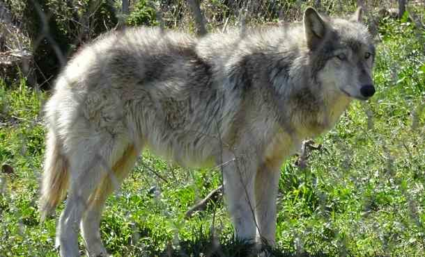 ... Wolf Dog Hybrids Information And Pictures United | Dog Breeds Picture