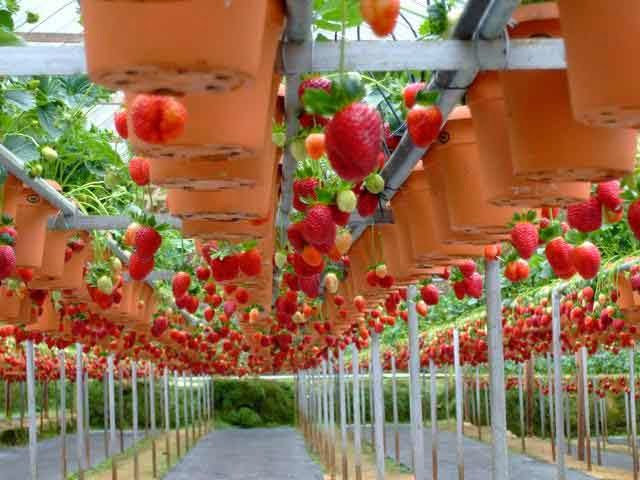 Strawberry Cultivation with Hidroponic Technical