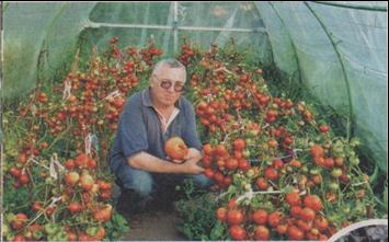 лучшие сорта томатов для севера и средней полосы