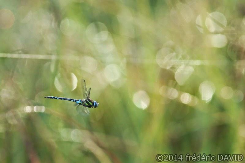 animaux nature libellule marais Épisy Seine-et-Marne