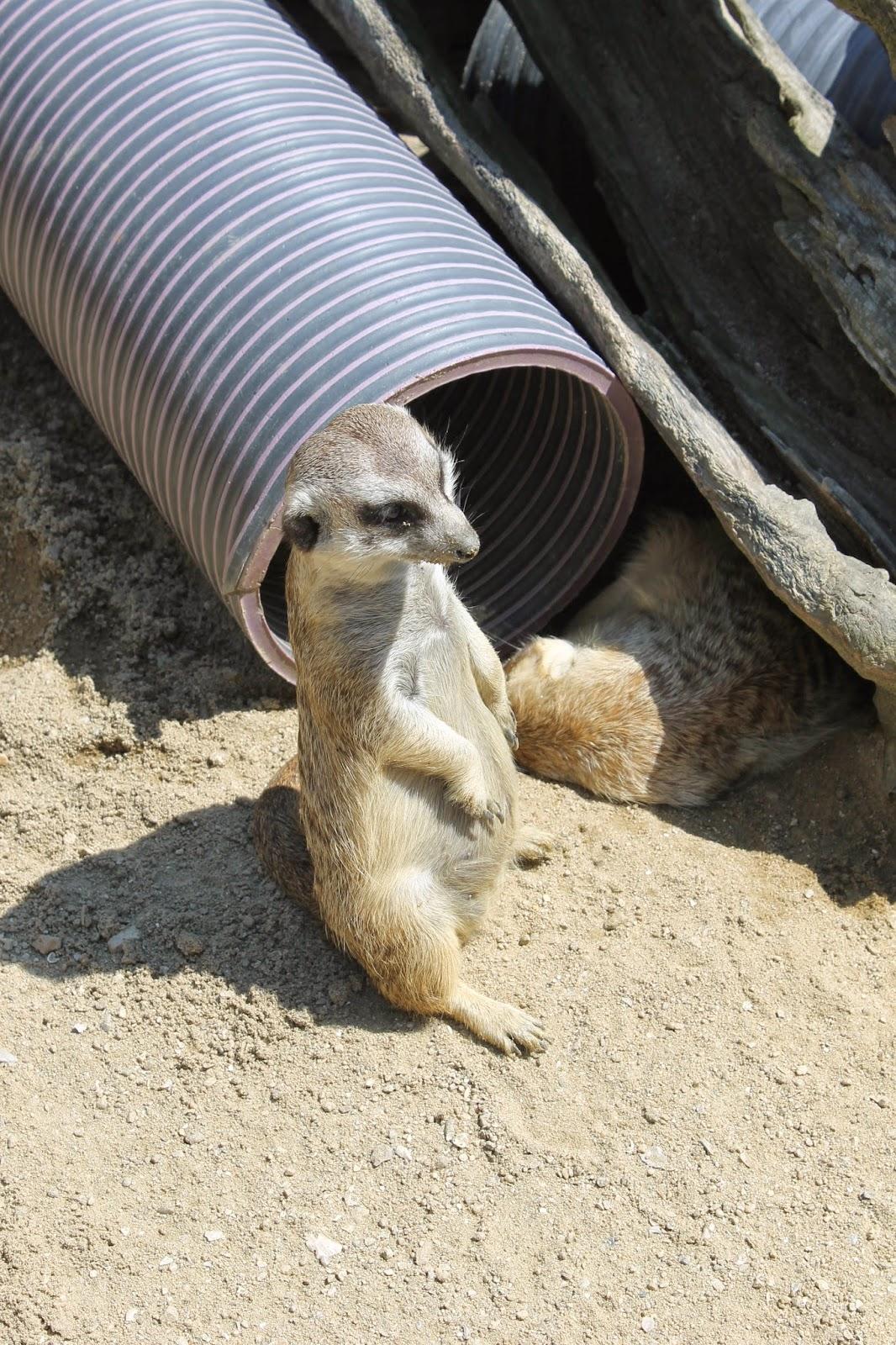 Seoul Zoo, Seoul, зоопарк в сеуле, сеул, корея, зоопарк, сурикат