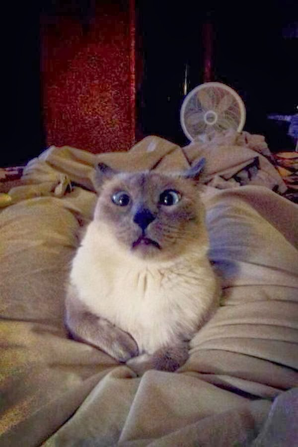 Funny cats - part 93 (40 pics + 10 gifs), cat mid sneeze picture