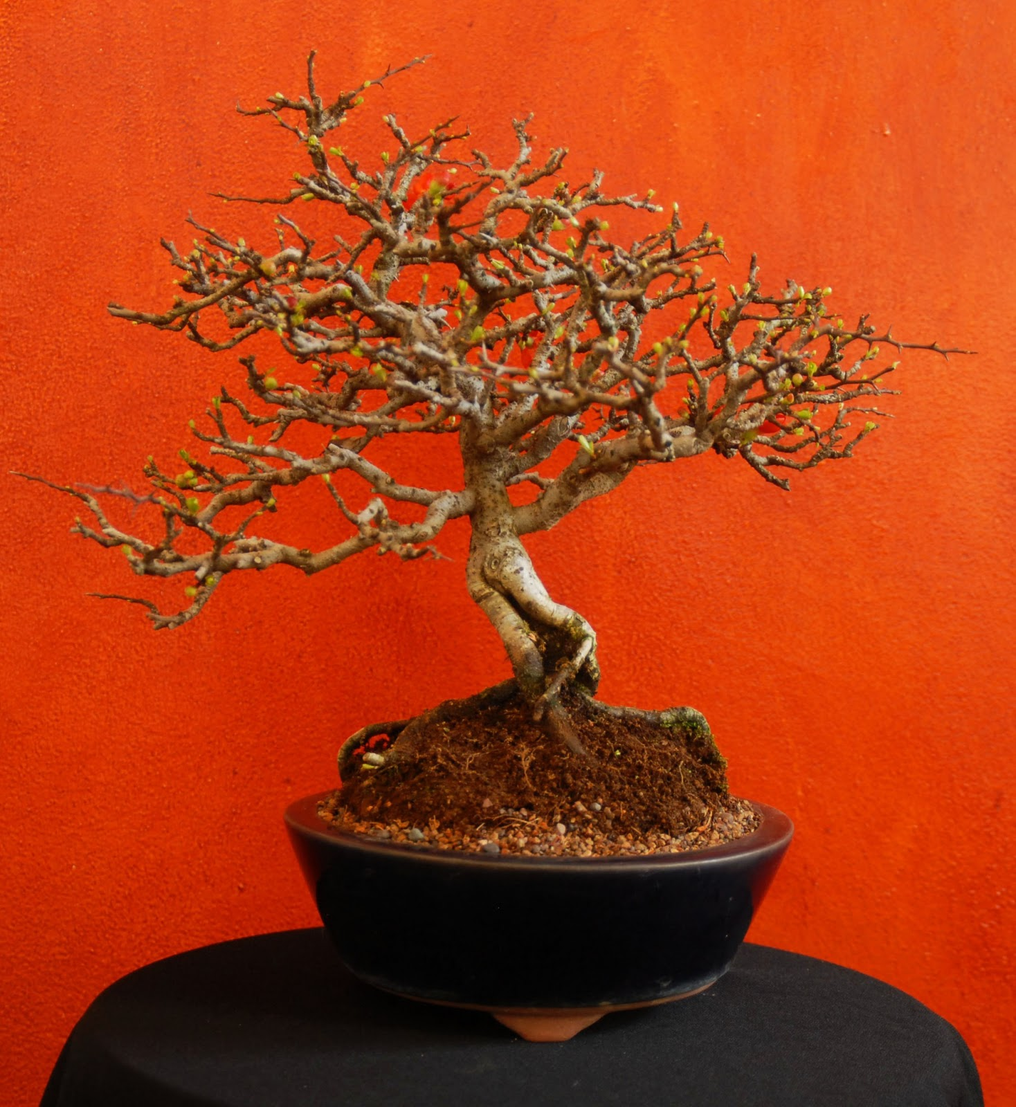 Chojubai Dwarf Flowering Quince TGT Bonsai