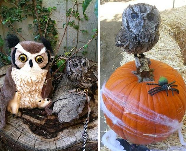 Zeus, blind owl, Western screech owl