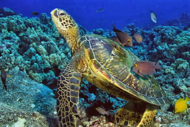морская черепаха плавает среди рыб