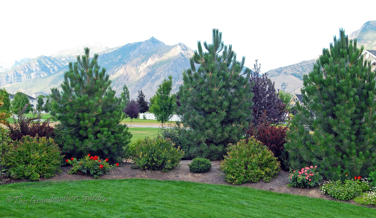 Mature austrian pine tree adult webcam movies for Mature pine trees