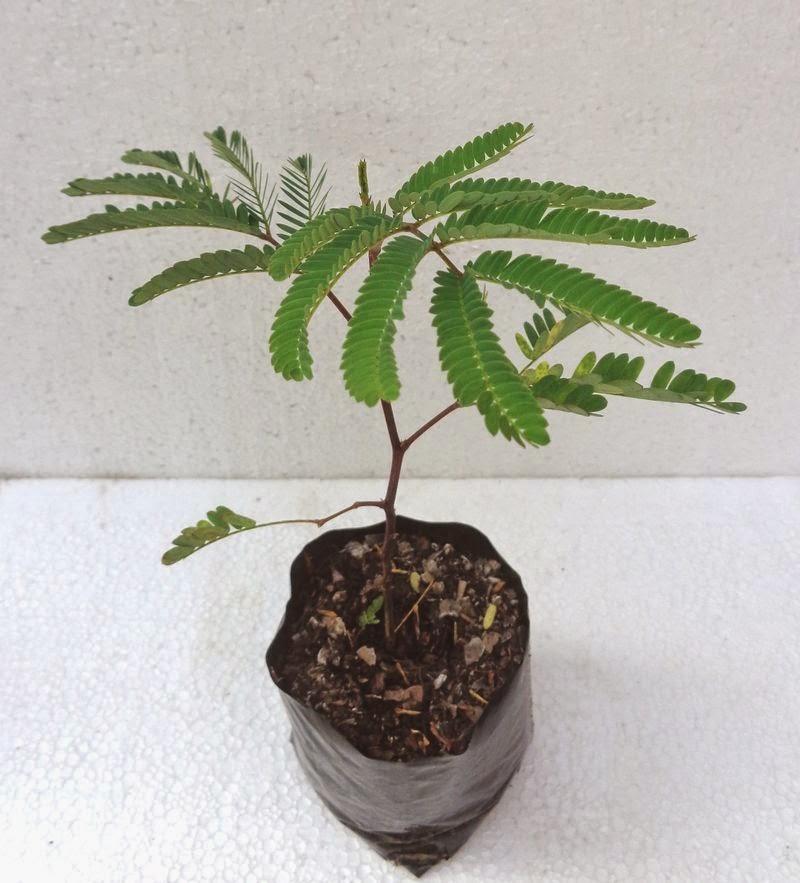 Pre bonsai natur for Arboles perennes de crecimiento rapido