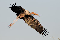 Painted Stork in flight, India
