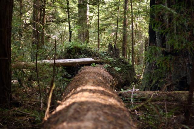 bull creek trail humboldt redwoods state park