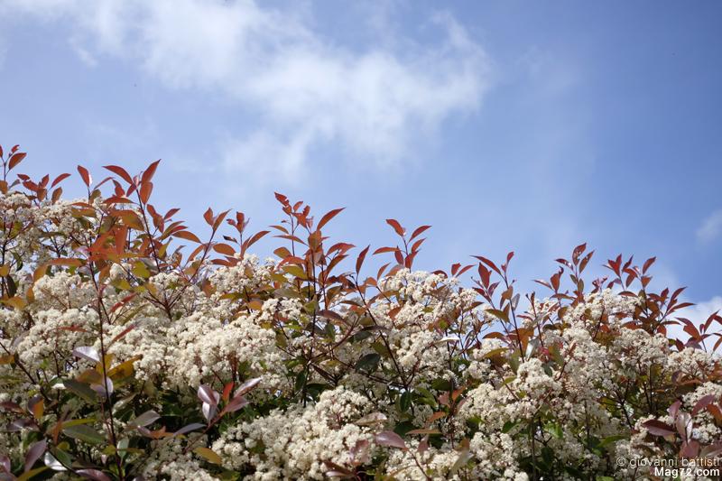 Siepe, fiori bianchi e nuvole