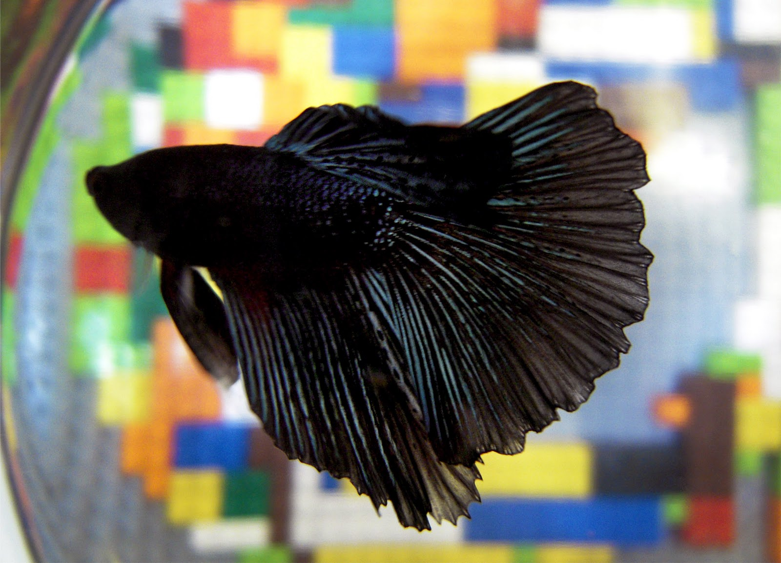 black betta betta fish pinterest