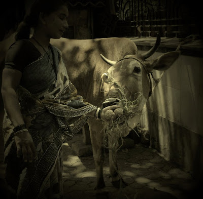 """Feeding Cow"" clicked by ""Isha Trivedi"""