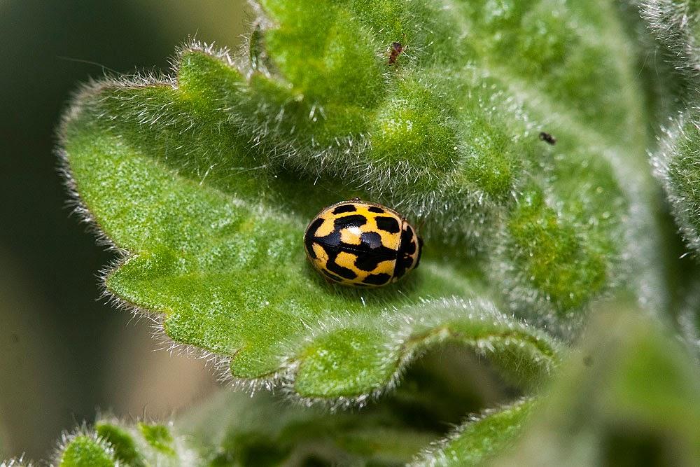 14 Spot Ladybird - Great Holm, Milton Keynes