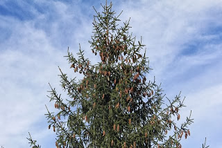 photo of pine tree heavy with cones