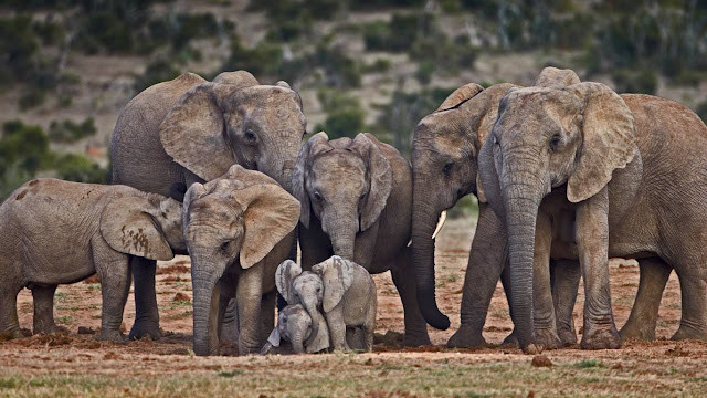 African elephants (© James Hager/Offset) 710