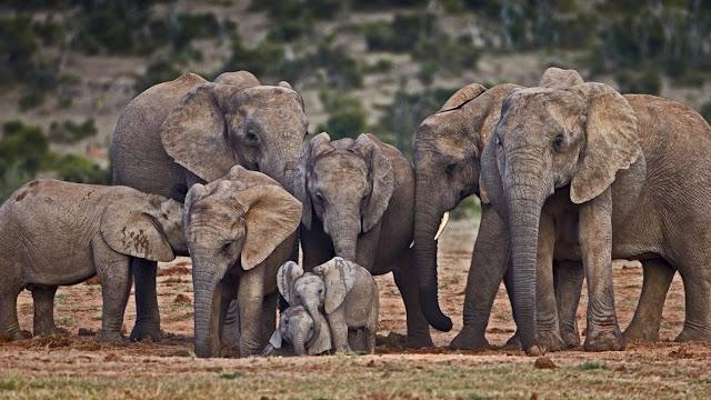 African elephants (© James Hager/Offset) 710