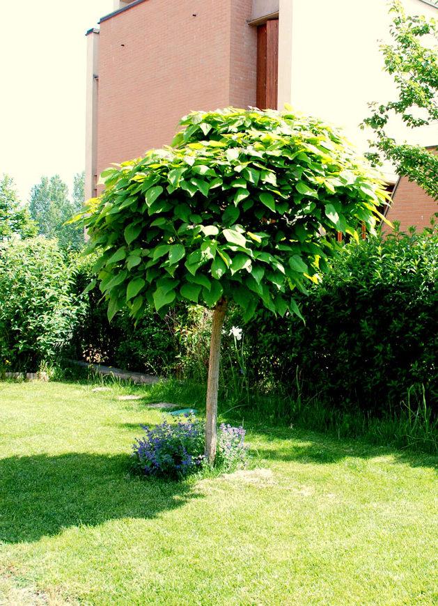 Il mondo in un giardino la pianta antizanzare for Alberi per piccoli giardini