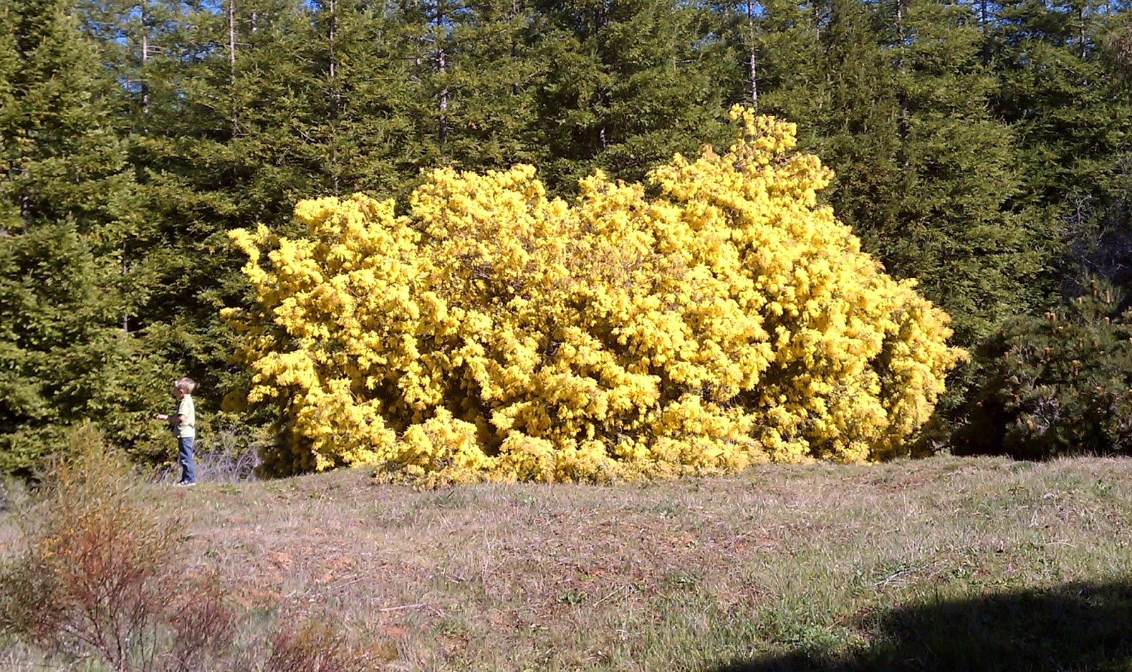 Trees Of Santa Cruz County Acacia Baileyana Bailey Acacia