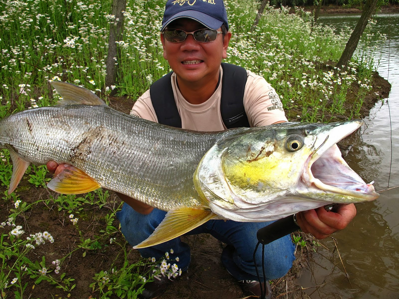 Yellow Cheek Carp