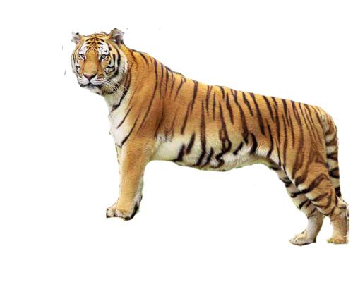 Wanita Harimau