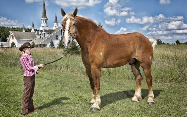 Guinness World Record, Tallest, living horse, big jake