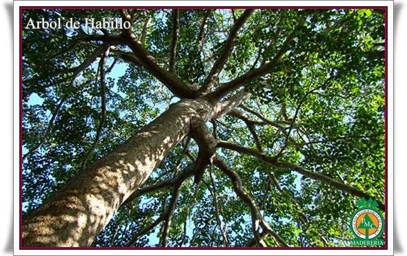 Arbol-de-habillo-maderas-de-cuale-puerto-vallarta