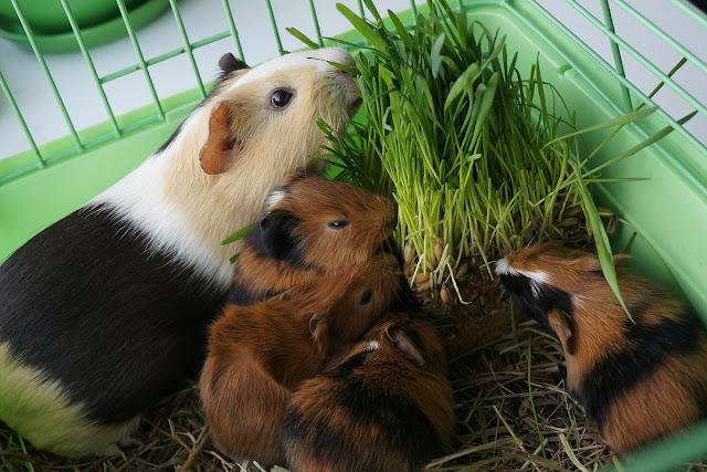 Морские свинки: мама и малыши.