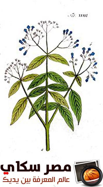 تعرف على الإستعمال الطبى للحناء وماهى الحالات التى تعالجها Lawsonia inermis