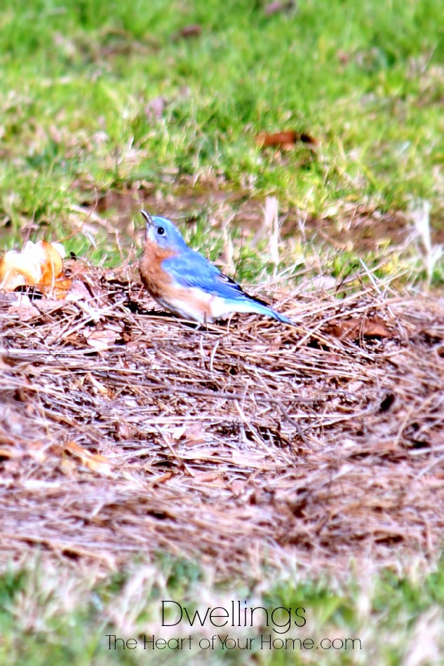 bluebirds build nests with pine needles