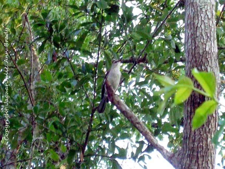 Adult Mockingbird in Tree Guarding Nest Perimeter