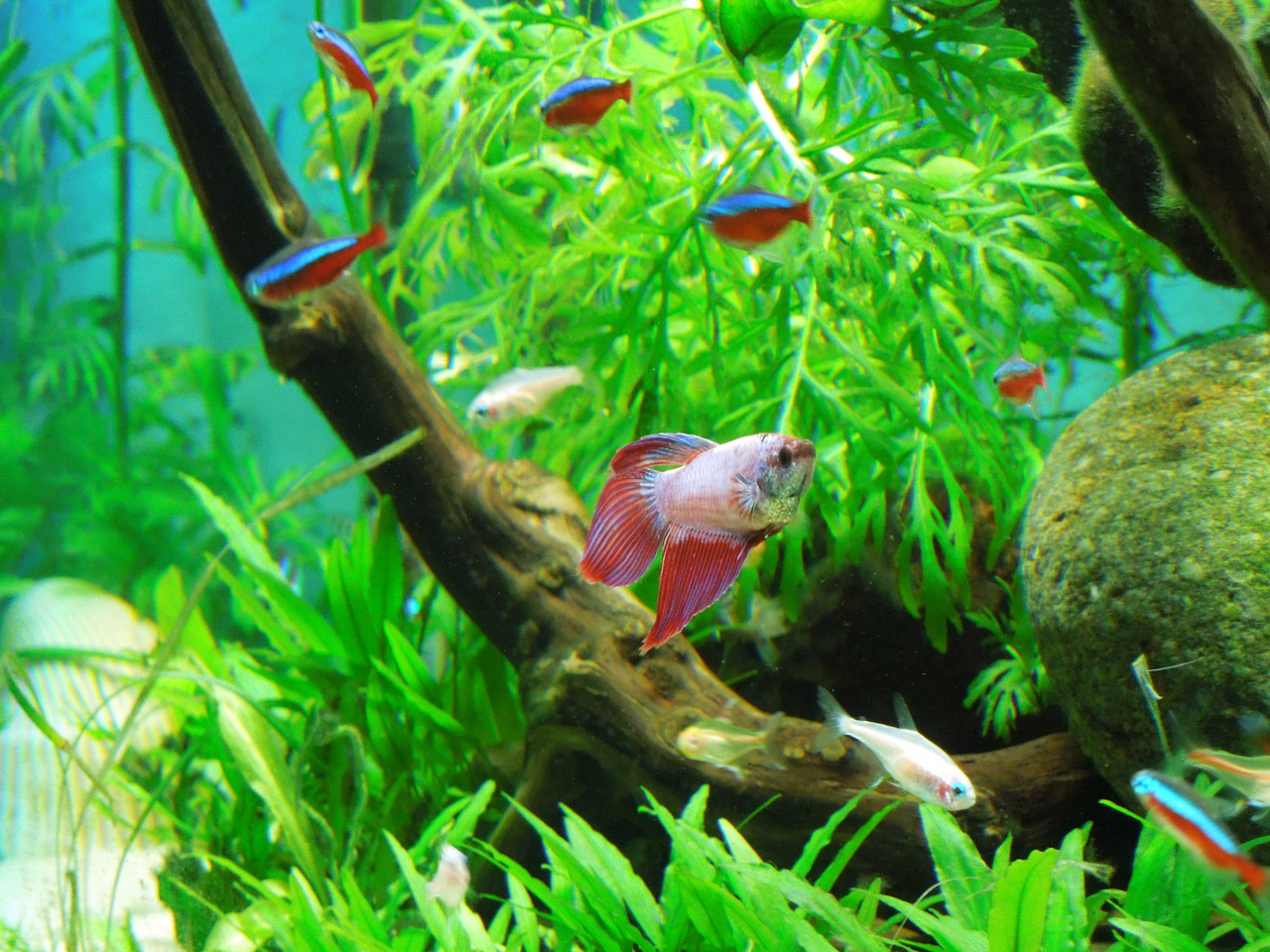 Neon tetra for sale aquariumfish net - A Betta Splendens In A Community Tank With Neon Tetras Photo By Tumblr