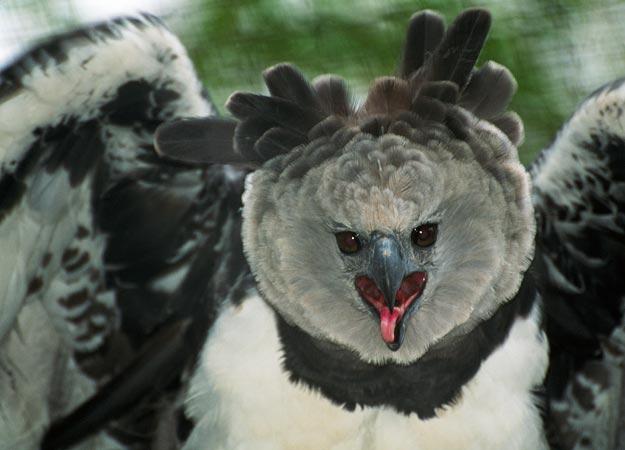 Harpy eagle hunting monkey - photo#15