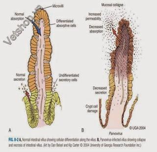 Hình 2: Sự xâm nhiễm và phá hủy lớp biểu mô đường ruột của parvovirus