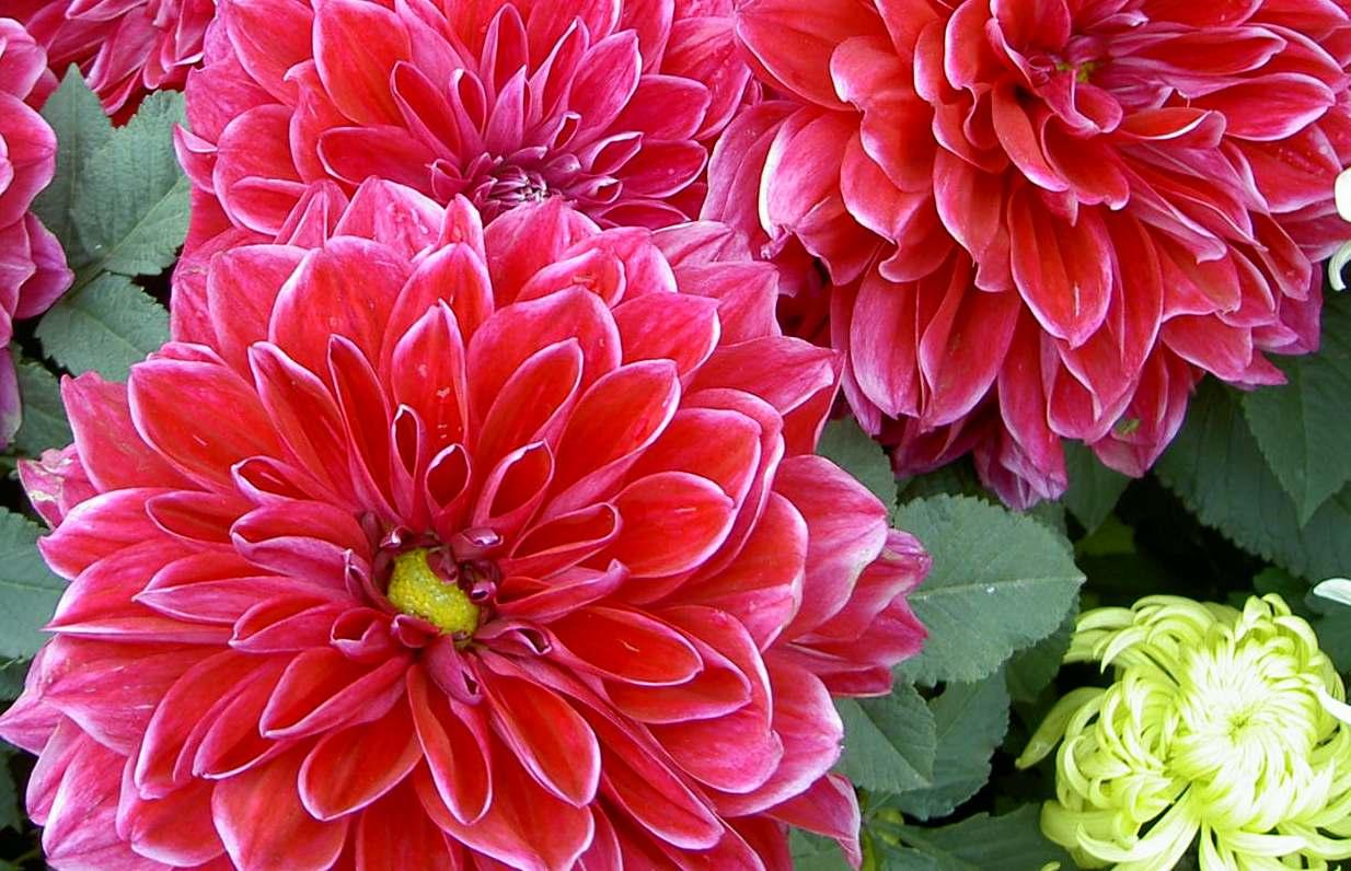 Dahlias Flower Dahlia Diseases Viruses Unpleasant Surprises