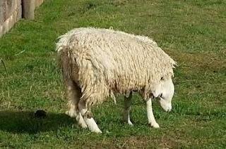 خروف رأسه بالمقلوب ويعيش بصحة جيدة