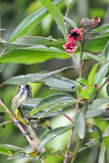 Yellow-breasted Flowerpecker (Prionochilus maculatus)