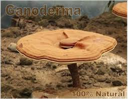 Fotografia de Ganoderma Lucidum - Hongo Medicinal