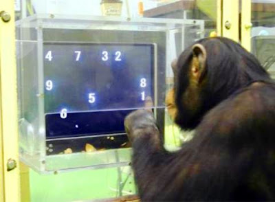 Ayumu el chimpancé más inteligente del Mundo.