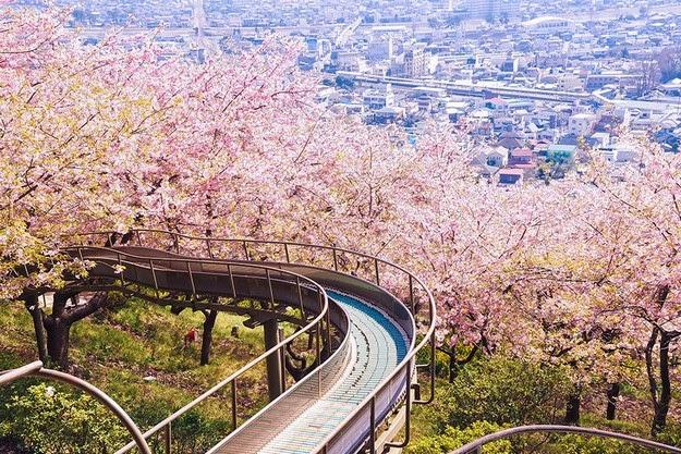 sakura blossom1