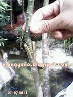Ke 7 - Cara menyambung tanaman  bunga Adenium