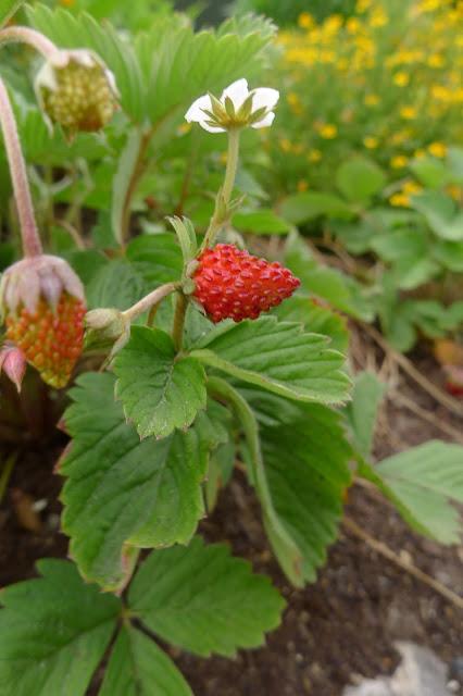 Alexandria Alpine Strawberry