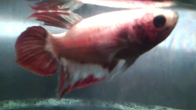 Betta fish tail types and patterns betta fish questions for Betta fish swim bladder